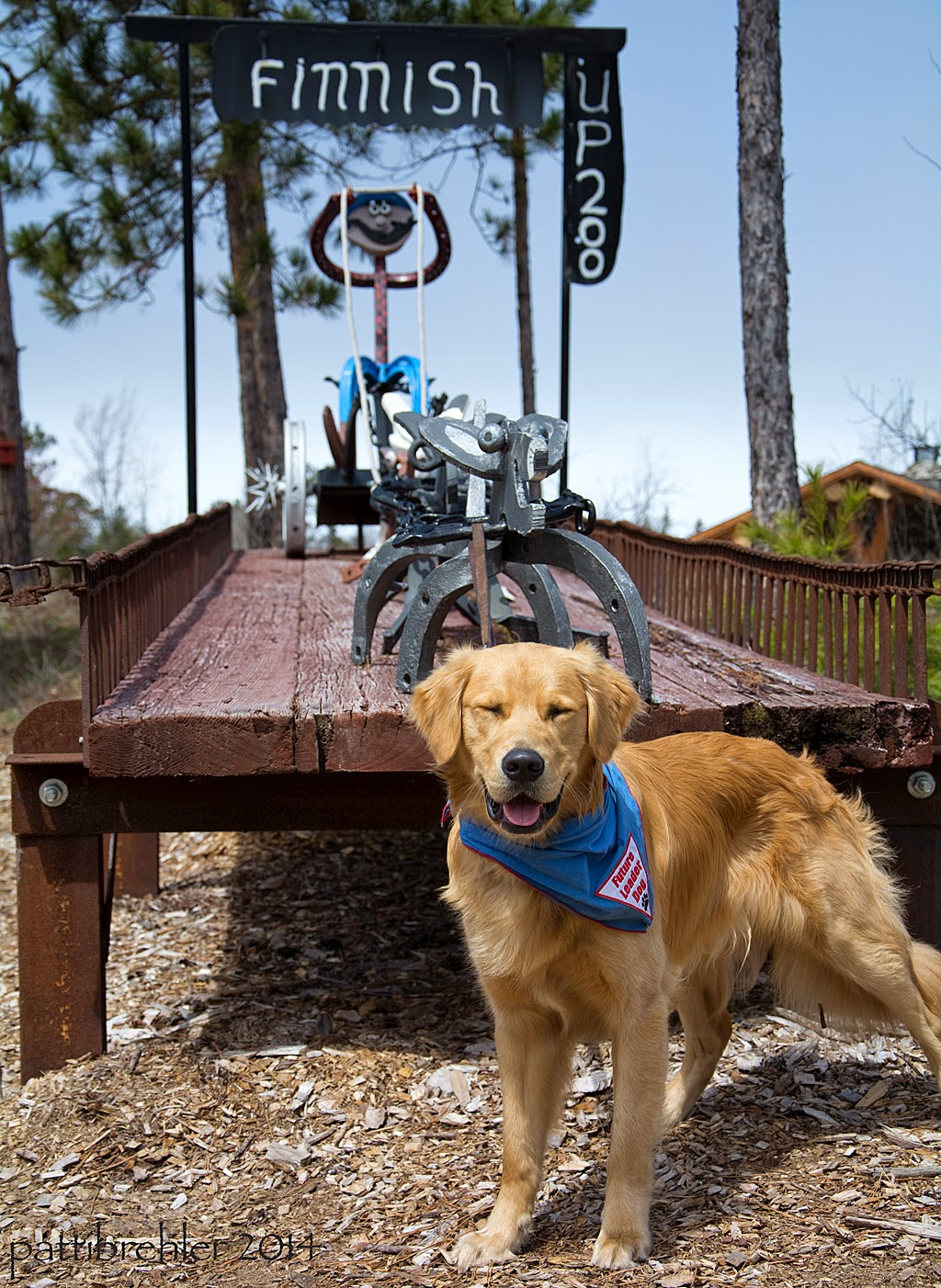 "The golden retriever stands in front of a metal sculpture of a dog sled team, mounted on a wood ramp. His leash is tied to the lead metal dog and his eyes are squinting. There is a metal man on the sled behind the metal dogs. A black metal sign above the sculpture says ""Finnish"" and on the side it says UP 200."