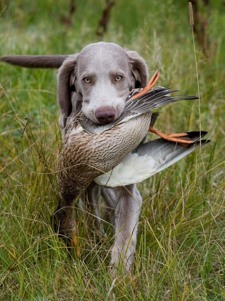 Weimaraner - One of the large hunting dog breeds, the Weimaraner ... Weimaraner For Sale