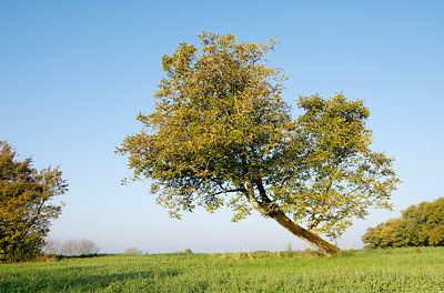 Photo of an autumn tree against a clear blue sky