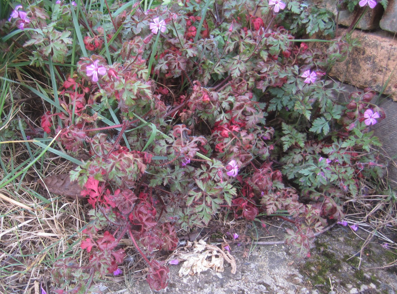 Red stemmed Herb Robert