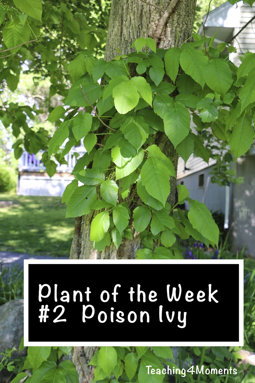 Teaching 4 Moments-Plant of the week-Poison Ivy