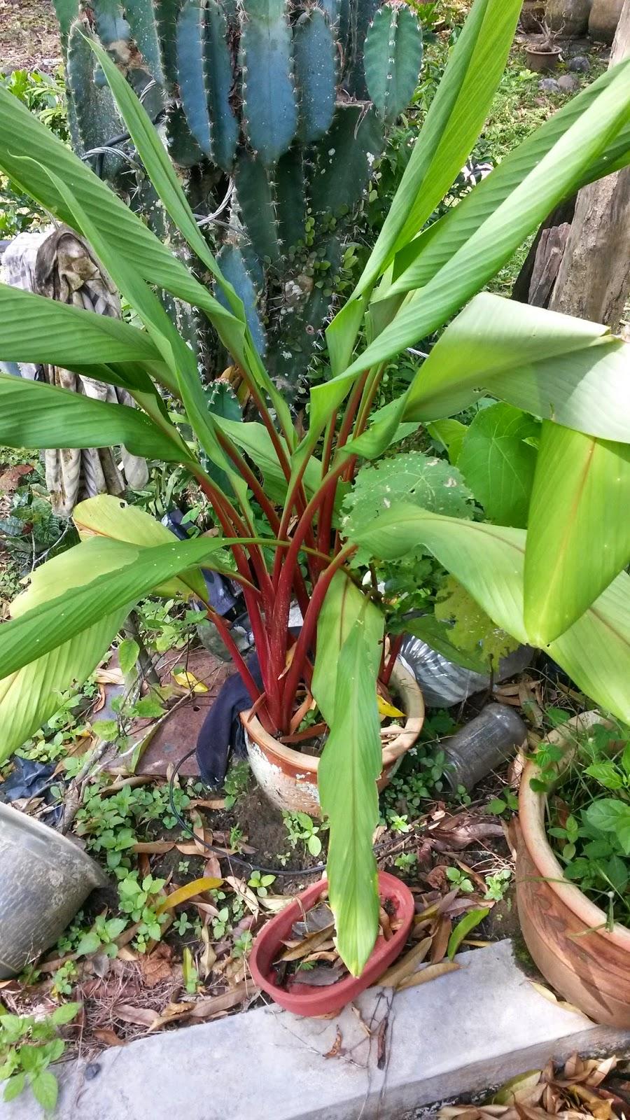 Rumah Herba & Akar kayu, resdung, tradisional medicine, temu merah