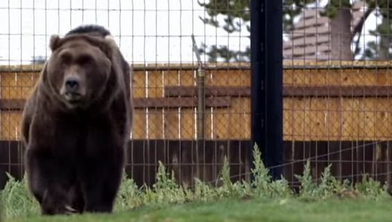 Bigfoot Evidence: Is Bigfoot Real Or Are People Just Seeing Bears?