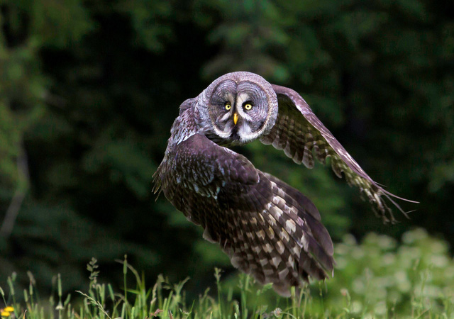 Great Grey Owl by Milan Zygmunt