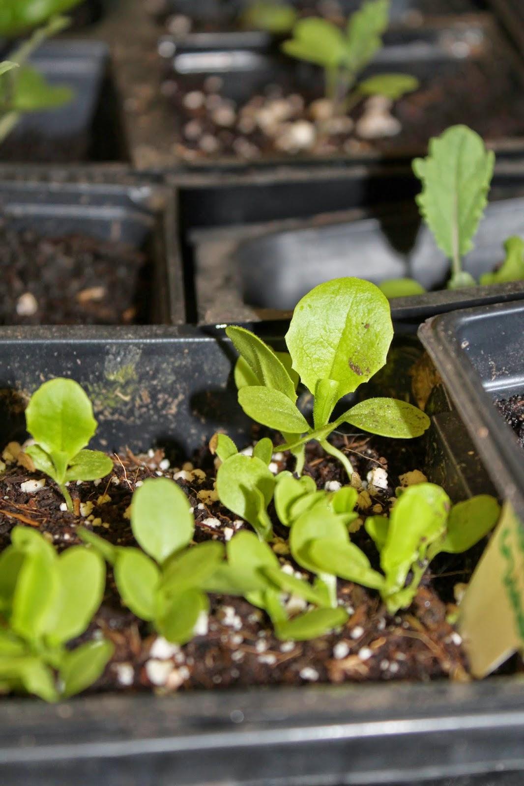 Kitchen Scrap Gardening Burnaby Food First Gardening Education Portal Gardening From