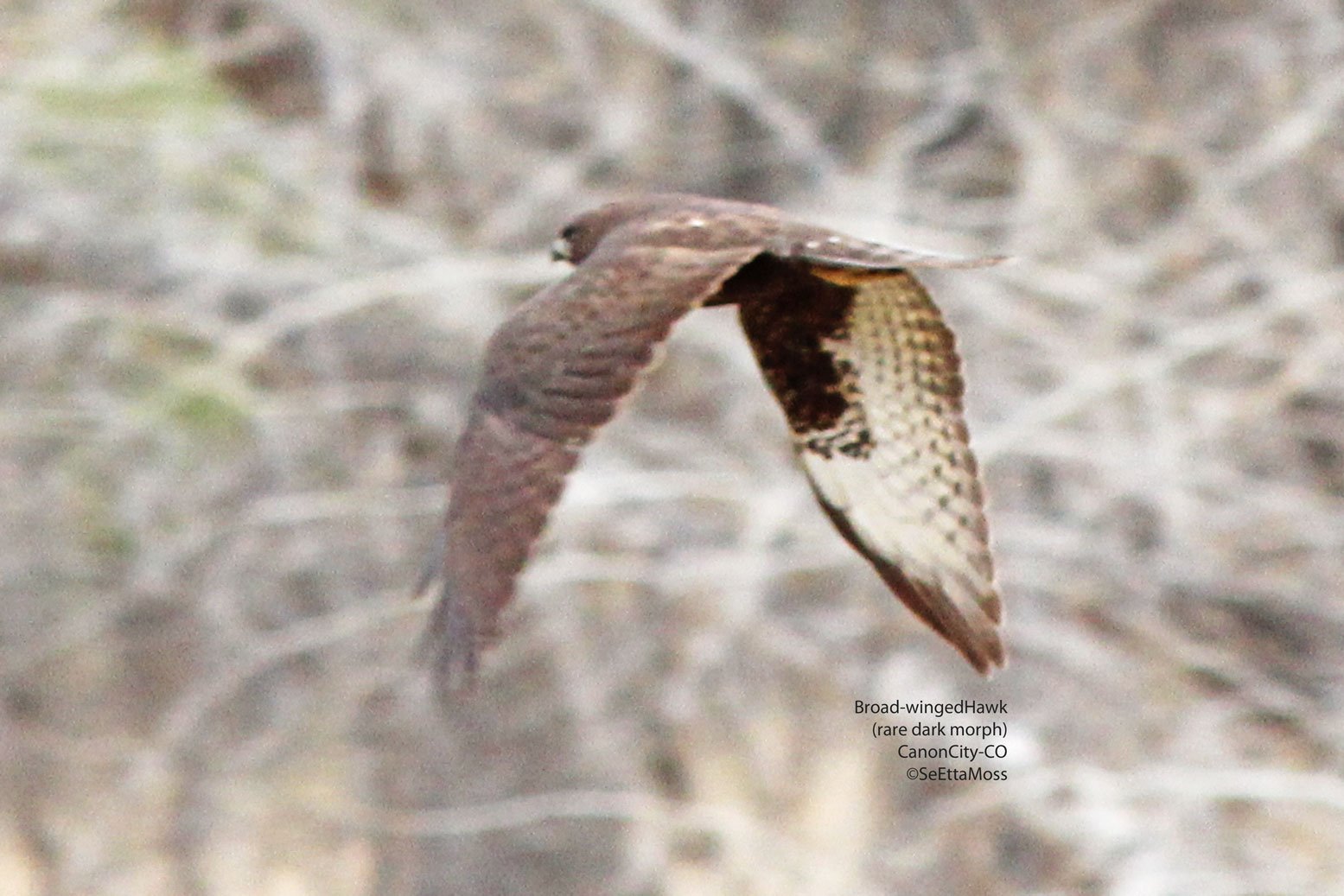 Birds and Nature: Rare dark morph Broad-winged Hawk in ...