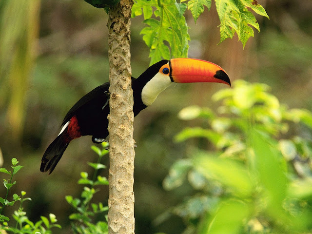 "<img src=""http://2.bp.blogspot.com/-NxSYiQN-52Y/Ud2tgvxZD1I/AAAAAAAAAWY/DcEqyz9TJXw/s1600/toco_toucan_in_the_tropical_forest-normal.jpg"" alt=""Birds wallpapers"" />"