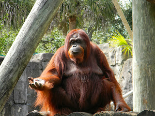 female orangutan at the zoo