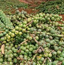 manfaat buah aren atau kolang-kaling untuk bahan makanan