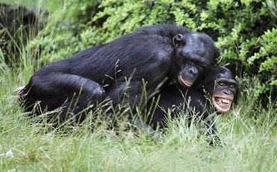 Bonobo mating