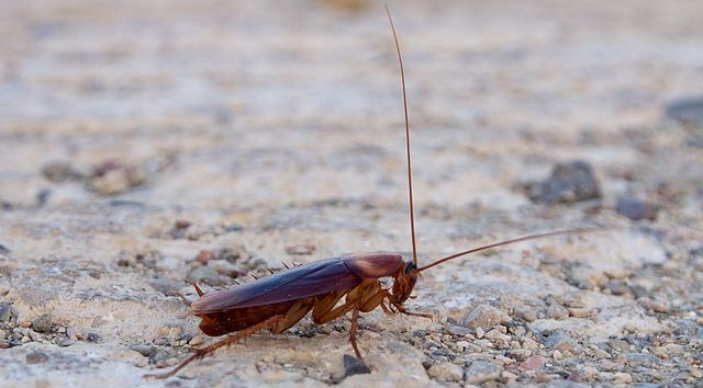 Animal that runs the fastest American Cockroach