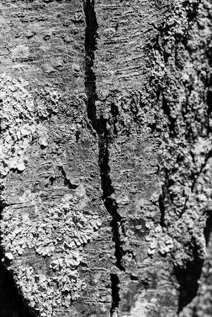 lichen growing on honey locust bark