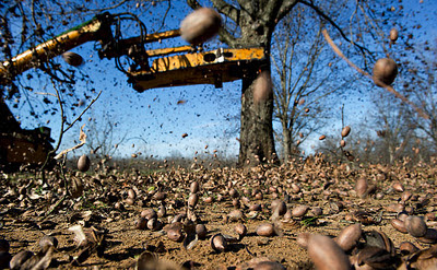 in georgia, pecan thieves find windfall, at $1.50 a pound