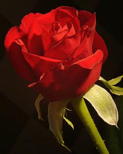 women rose