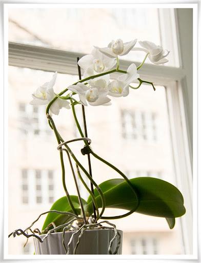 Blmmande orkide
