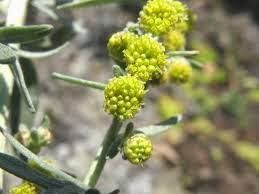 Αρτεμισία, ένα βότανο που εξαφανίζει το καρκίνο του μαστού σε 16 ώρες