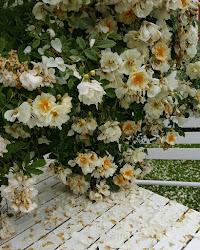 Rosenbladsregn