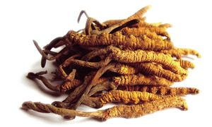 Cordyceps sinensis fungus is the main mechanism of erection.