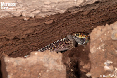 Horseshoe Snake and Agama