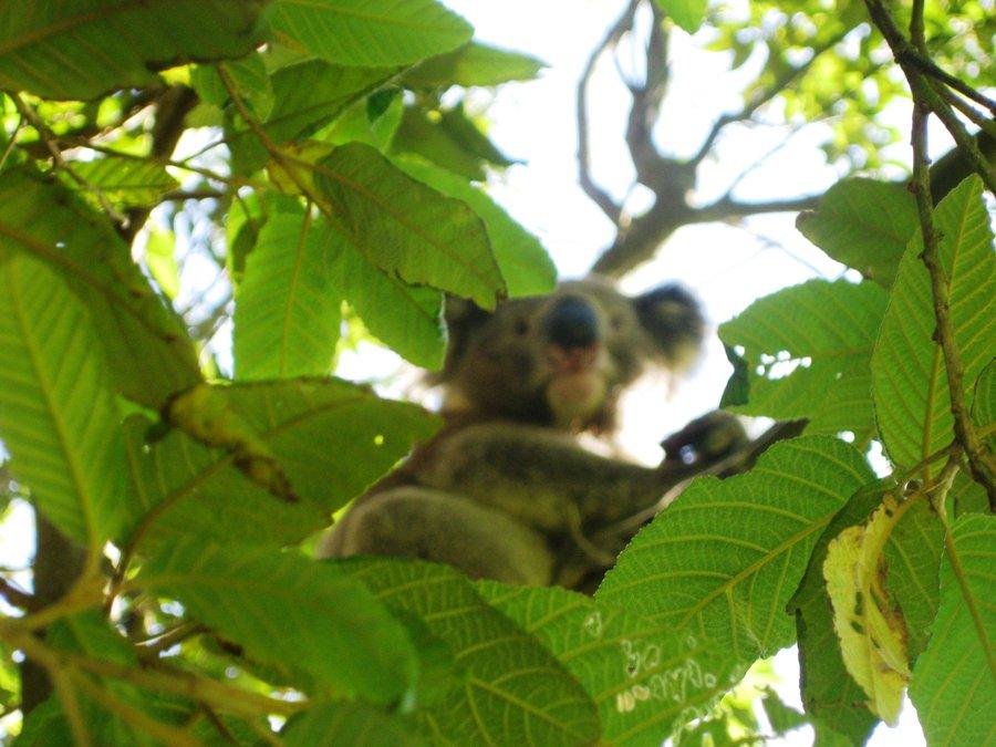 尤加利樹的精油廣被人所用
