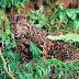 Inilah Foto Macan Dahan Borneo