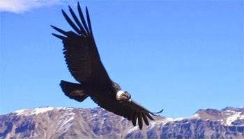 http://2.bp.blogspot.com/-NzkZAoOE29I/VHlCIqEnoqI/AAAAAAAAGVY/kLcGWq_EMAQ/s1600/andean%2Bcondor.jpg
