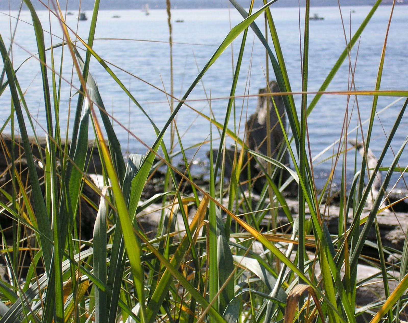 Tropical grass, sweet to the taste, - salvation in the treatment of many diseases