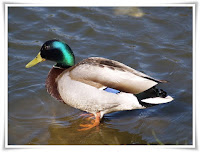 Duck Animal Pictures