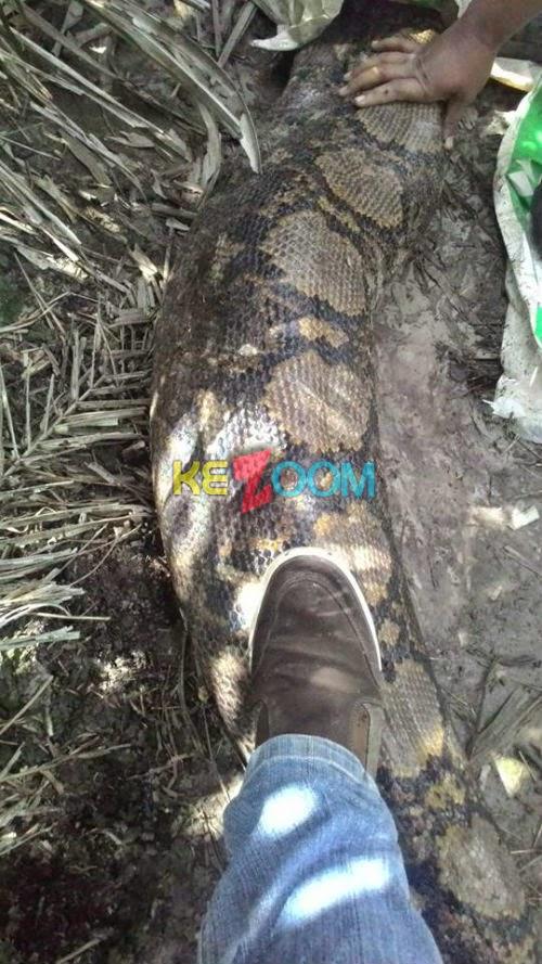 gambar ular - gambar ular sawa