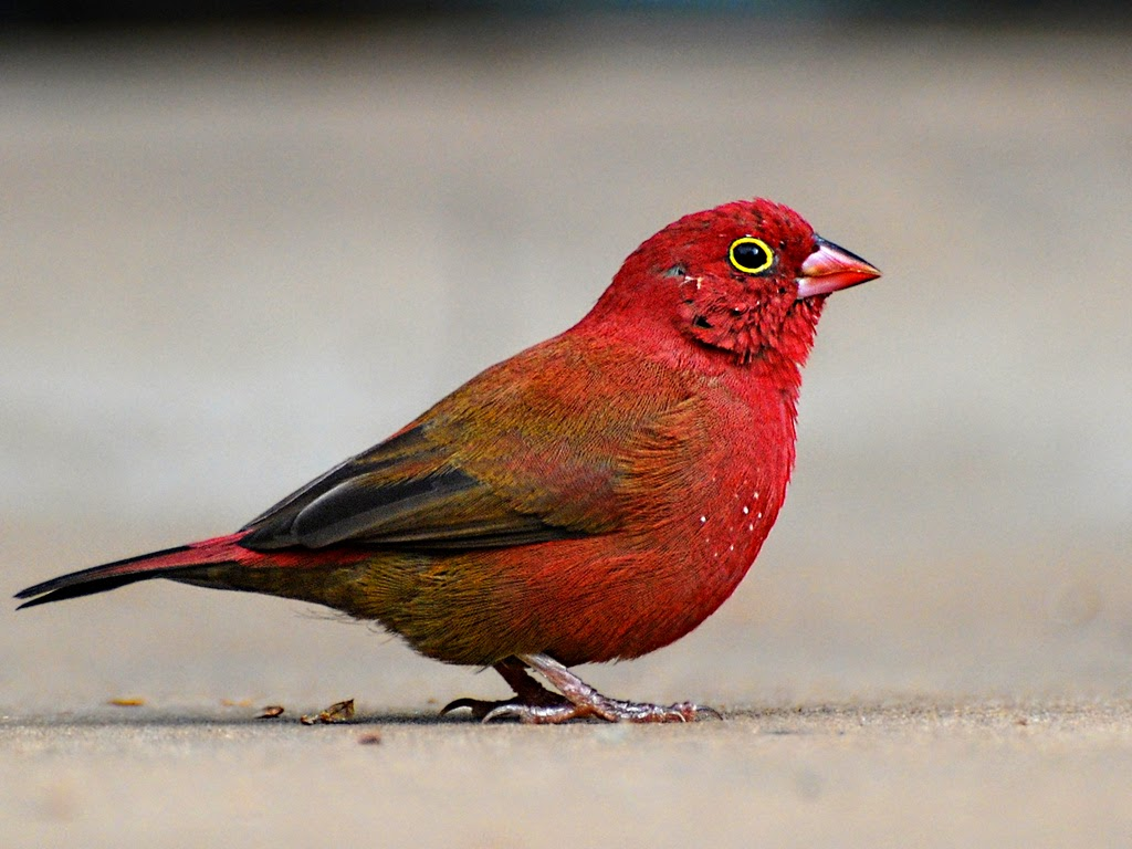 red colored birds of north america - HD1024×768