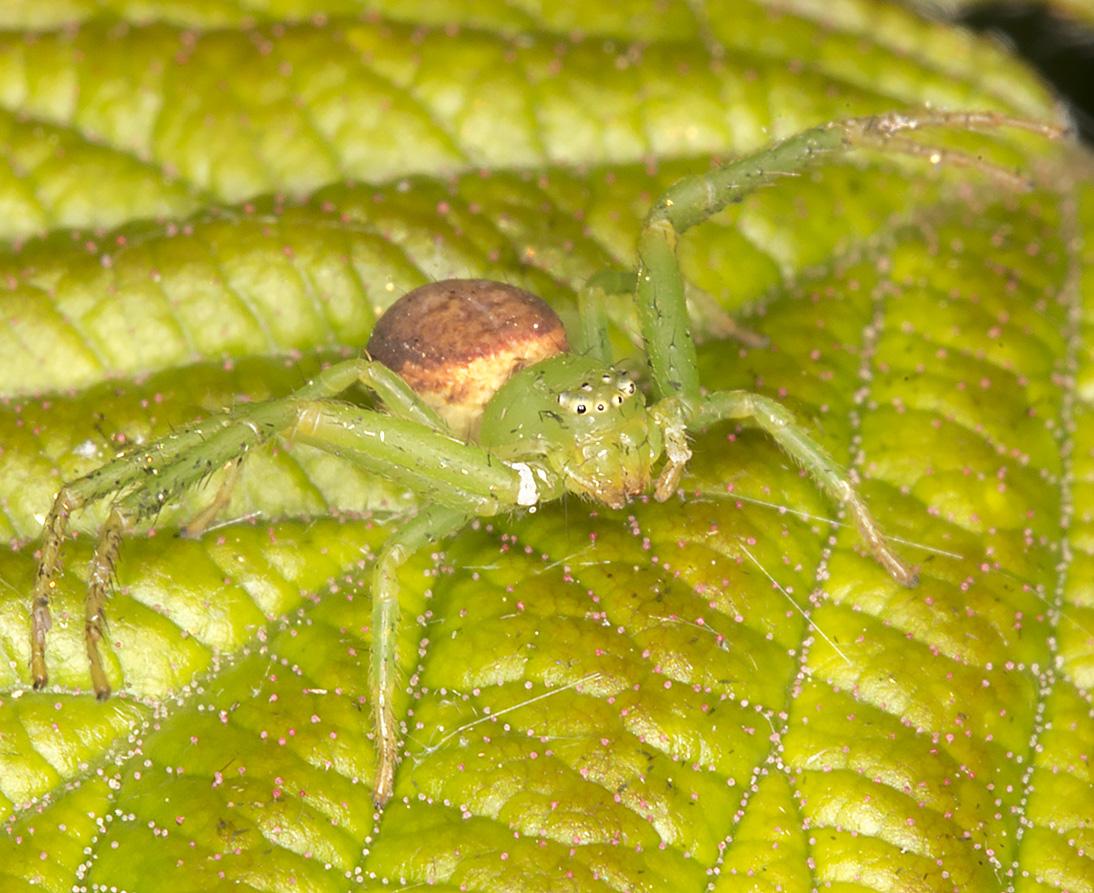 Crab Spider, Diaea dorsata.  West Wickham Common, 30 April 2014.