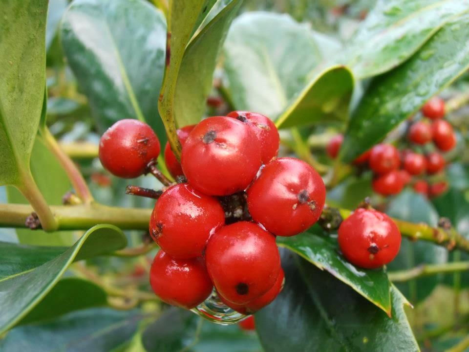 Crea tu jard n las plantas de navidad e invierno - Cuidados planta navidad ...