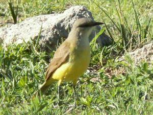 Derni re destination argentine quelques animaux d for Oiseau ventre jaune