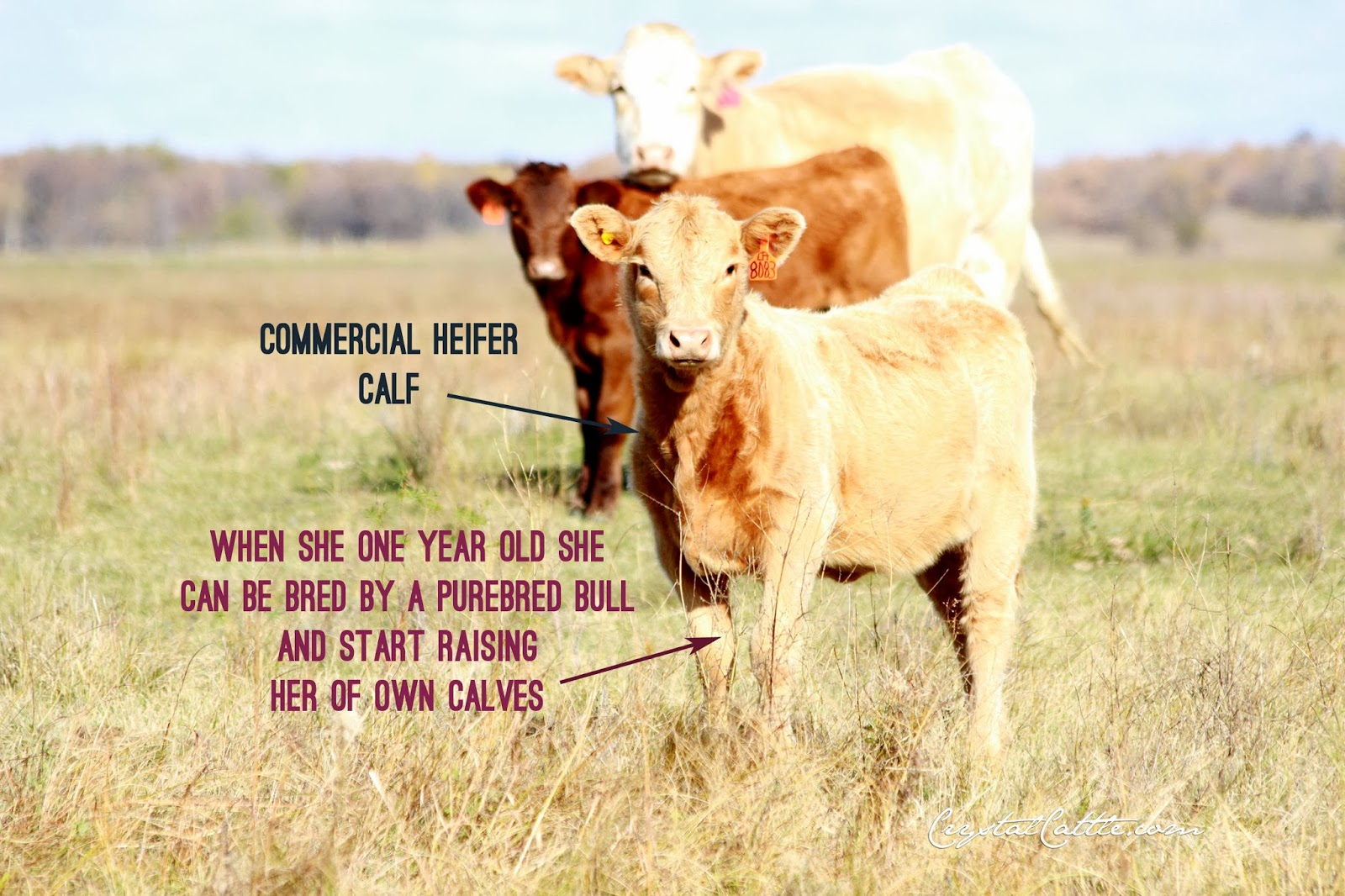 Commercial Breed