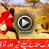 Man VS Lion For Food - Must Watch