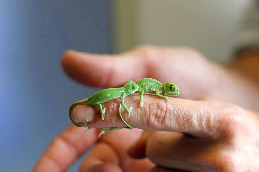 newly born baby chameleons Sydney Taronga Zoo-4