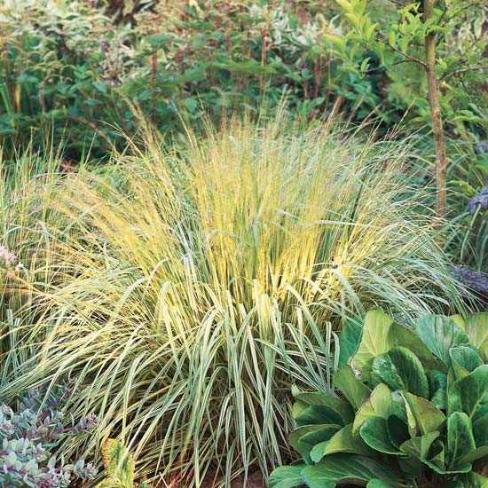 7 awesome ornamental grasses for every cottage garden for Tall purple ornamental grass