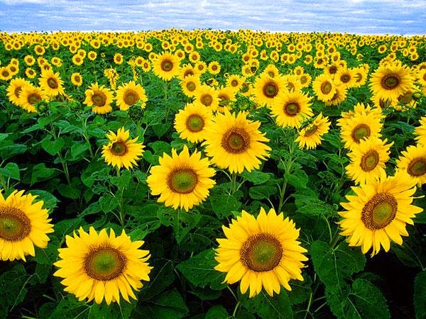 Astrological Benefits Sunflower