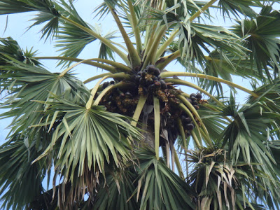 The Toddy Palm Crown And Its Fruits This Photo Only Courtesy Of