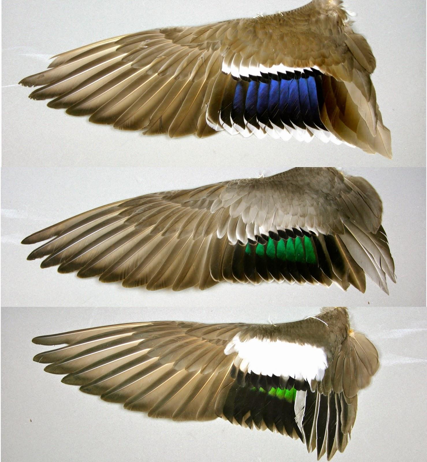 Hybrid Duck Study: HYB...
