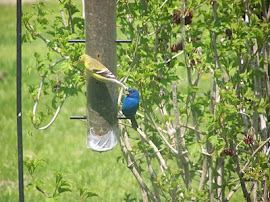 Friendly Neighbors:  American Goldfinch & Indigo Bunting