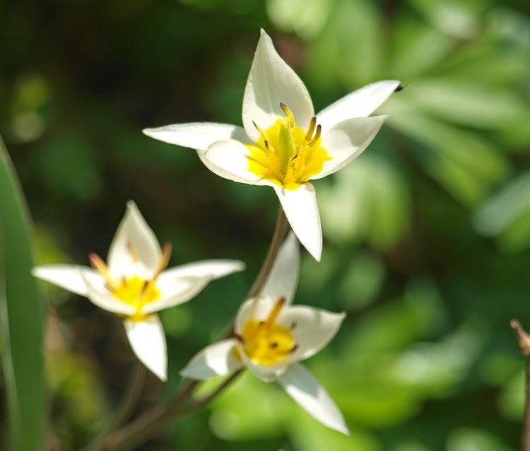 tulipan turkestanica en anbefalelsesværlig botanisk tulipan