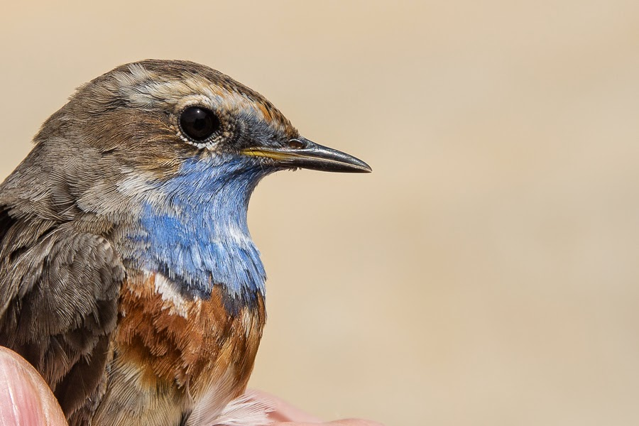 White-spotted Bluethroat