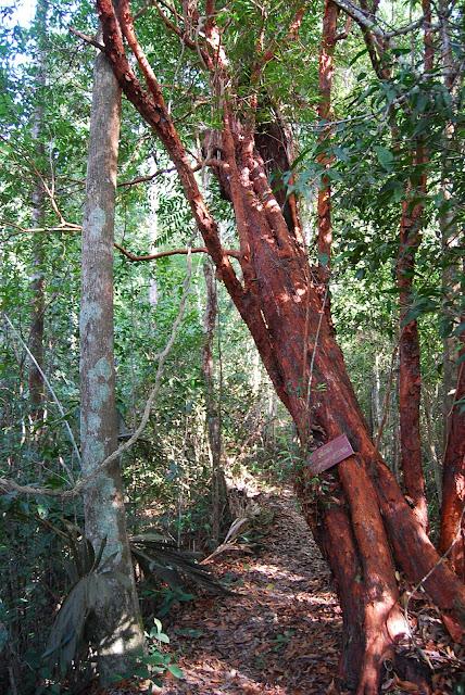 Дерево с красной корой в Национальном парке рядом с пляжем Туп Каек. National Park near Tup Kaek beach.