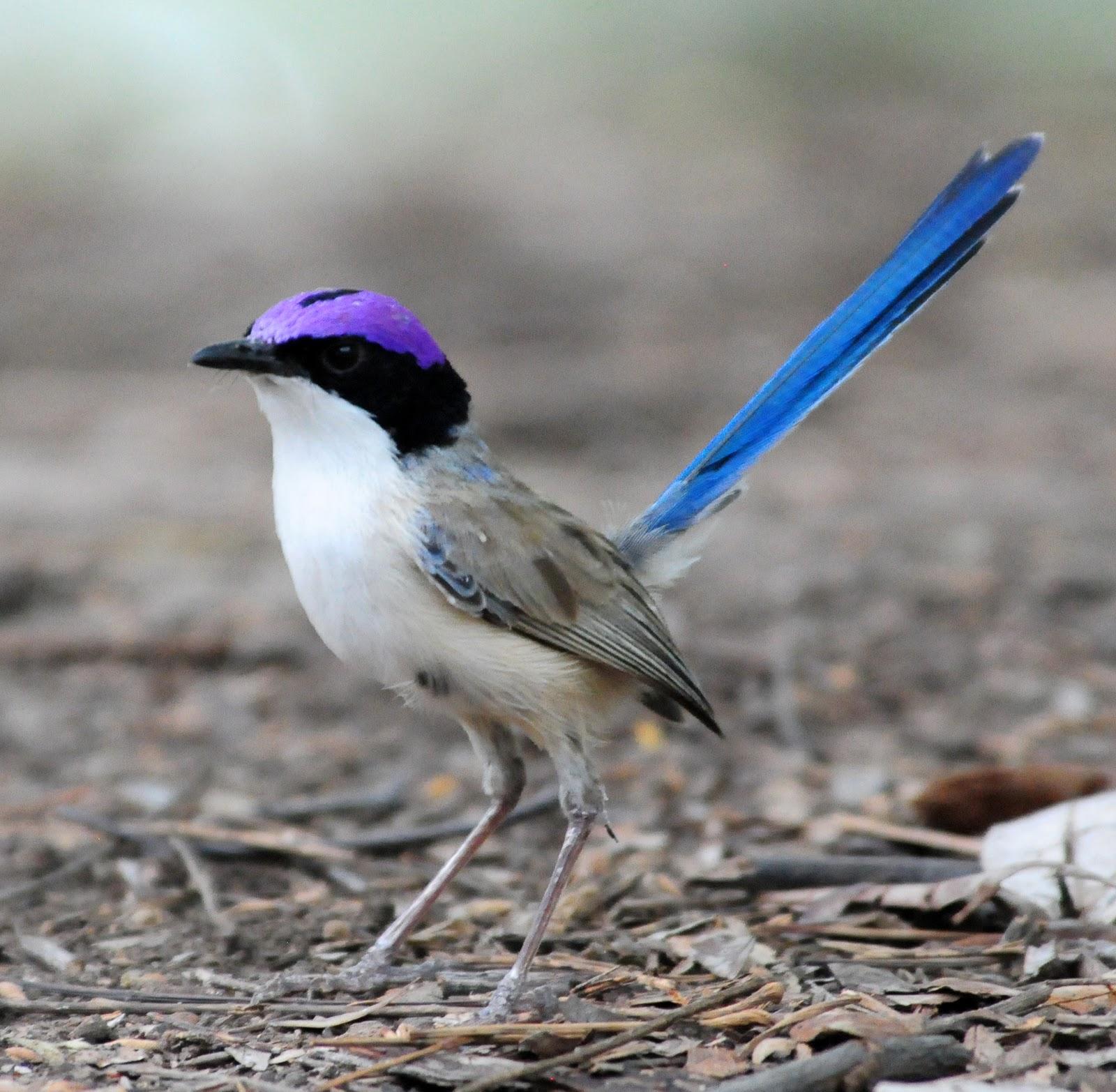 Purple Crowned Fairy Hummingbird The Purple Crowned Fairy