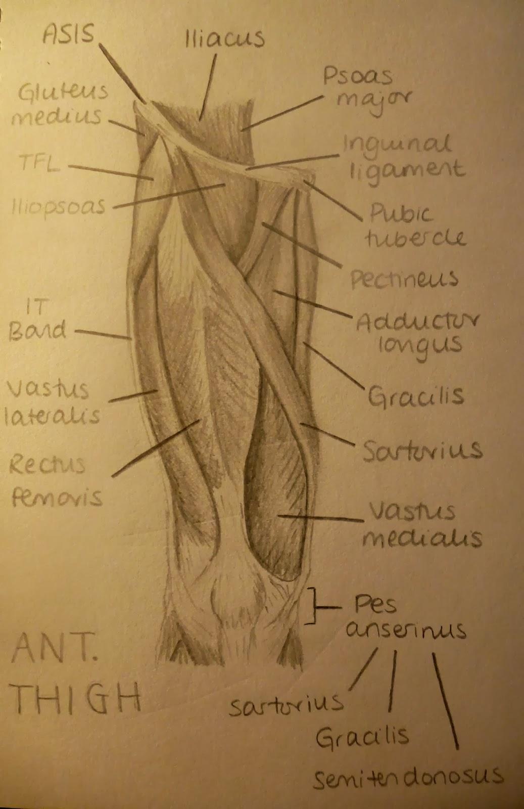 Ant. Thigh