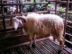 Domba Type wahid