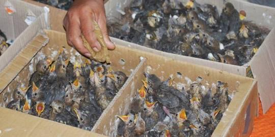 nutrition untuk ayam petarung