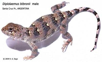 reptiles de Argentina Matuasto Diplolaemus bibroni