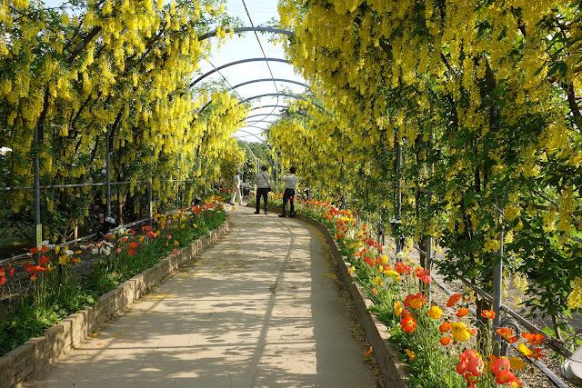 Ashikaga Flower Park yellow wisteria